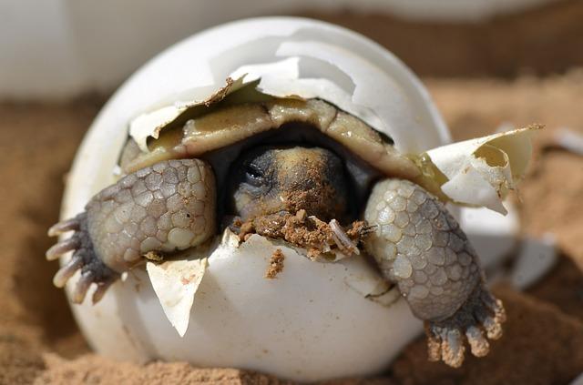 desert-tortoise-987972_640