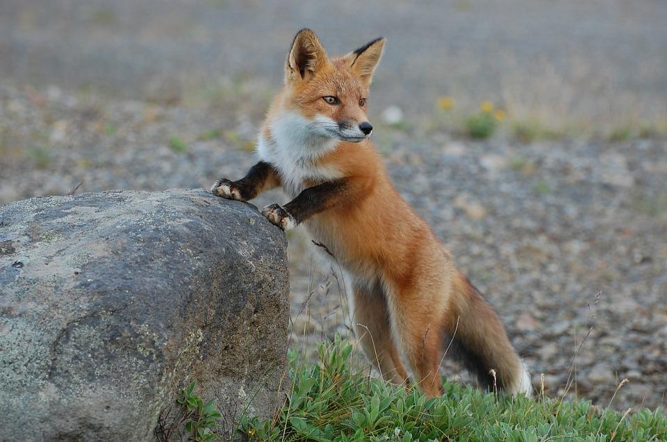 fox-935210_960_720