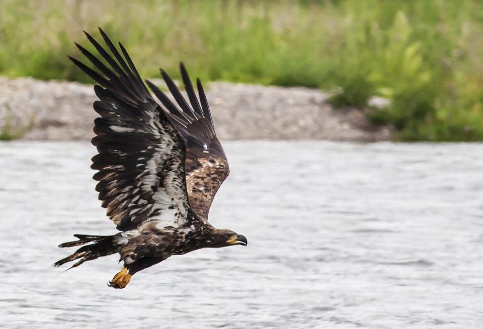golden-eagle-882404_960_720