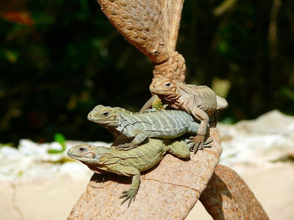 iguanas-1887_960_720