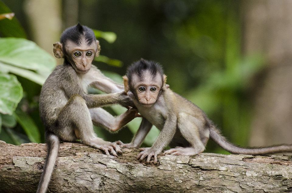 monkeys-768641_960_720